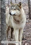 Wolf listening picture Picture