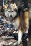 Shy Boy Wolf Picture