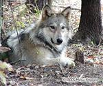 Alert Wolf picture Picture