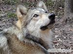 Wolf posing picture Picture