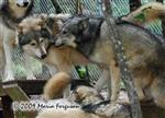 Wolf pictures, adore him Picture