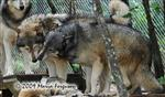 Wolf pictures, acceptance Picture