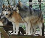 Wolf pictures, Father and Daughter Picture