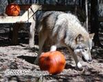 Wolf eating a pumpkin treat Picture