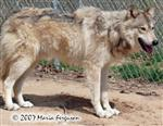 Wolf shedding in spring picture Picture