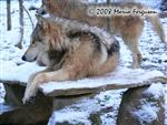 Wolf winter coat picture Picture