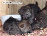 Wolf pups around the water cooler picture Picture
