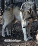 Waya Wolf picture Picture