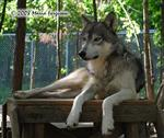 Subordinate Male Wolf picture Picture