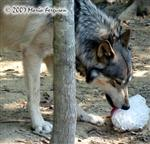 Wolf licks ice picture Picture