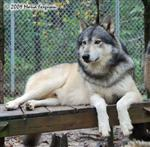 Wolf pictures, stately Picture