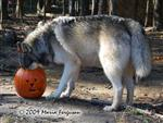 Wolf pictures, pumpkin head Picture