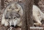 Tired Wolf picture Picture
