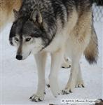 Wolf pictures, Waya's snow day IV Picture