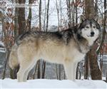 Wolf pictures, Waya's snow day II Picture