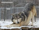 Wolf pictures, wanna play? Picture