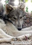 Wolf basking in the sunshine photo Picture