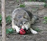 Wolves with enrichment ball picture VI Picture