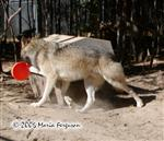 Wolf carries toy away picture Picture