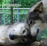 Wolf pictures, Wolfie Love Picture