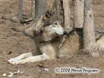 Wolf with egg stash picture Picture