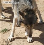 Wolf pictures, Frosty Paws XIV Picture