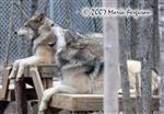Subordinate Wolf Howl picture Picture