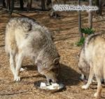 Wolves eating ice cream picture Picture