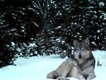 Snow Wolf picture Picture