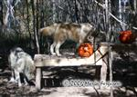 Wolves Halloween enrichment Picture
