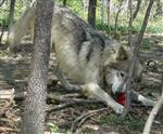 Wolf play bows picture Picture