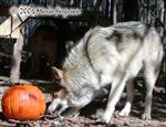 Wolf with pumpkin picture Picture