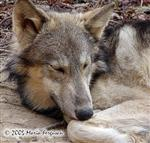 Alpha male is sleeping picture Picture