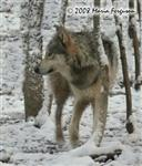 Timberwolf in snow picture Picture