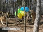 Wolves and balloons picture Picture