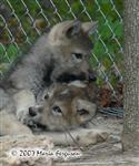 Head biting, wolf pup picture Picture