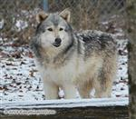 Leary Wolf Picture