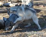 Wolf pictures, dominant female Picture