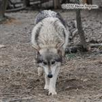 Wolf pictures, little Wolf Picture