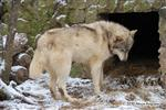 wolf picture, into the den Picture