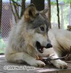 Wolf in spring picture Picture