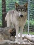 Wolf pictures, bossy girl Picture
