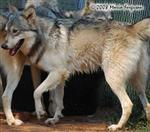 Wolf pictures, wet Wolf Picture