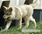 Wolf pup growing up picture Picture