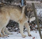Wolf pictures, more Woes in snow Picture