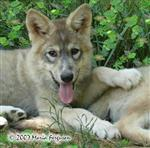 Lovely Wolf pup photo Picture
