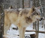 Wolf picture, focused Picture