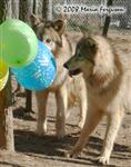 Wolf pops balloons picture Picture