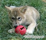 Wolf pup enrichment picture V Picture