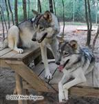 Wolf pictures, Sister Wolves Picture